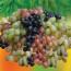Виноделие Грузии: виноградарство, сорта, технологии